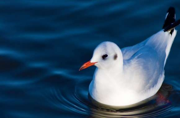 Swimming Black Headed Gull wallpapers hd quality