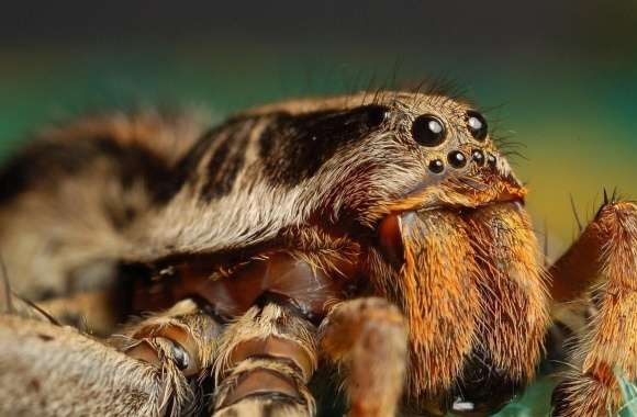 Tarantula Spider wallpapers hd quality