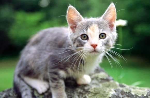 White And Gray Kitten wallpapers hd quality