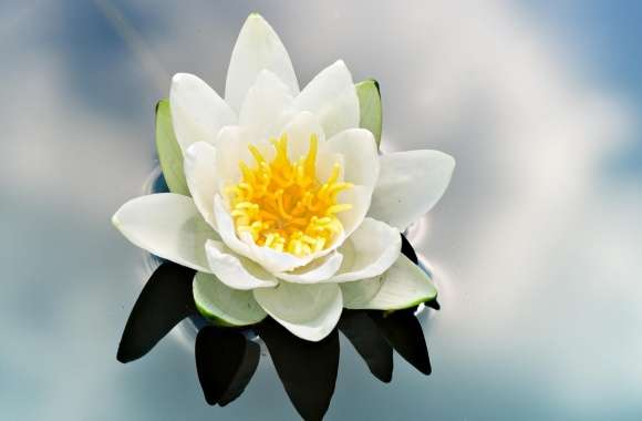 White Water Lily wallpapers hd quality