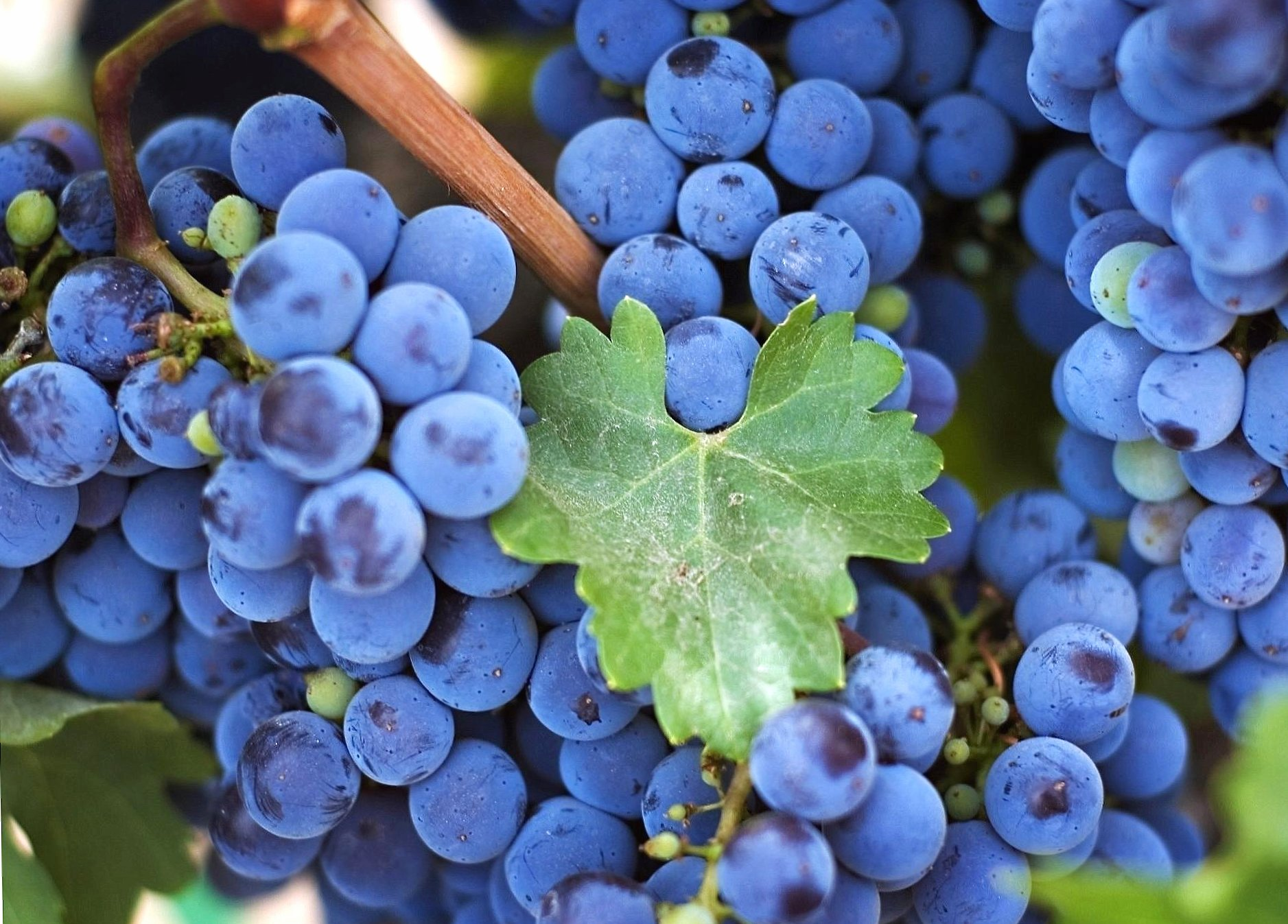 Amazing black grapes wallpapers HD quality