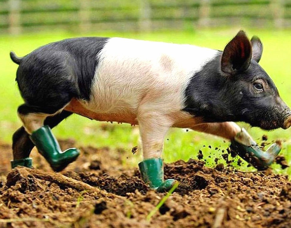 Funny pig with boots wallpapers HD quality
