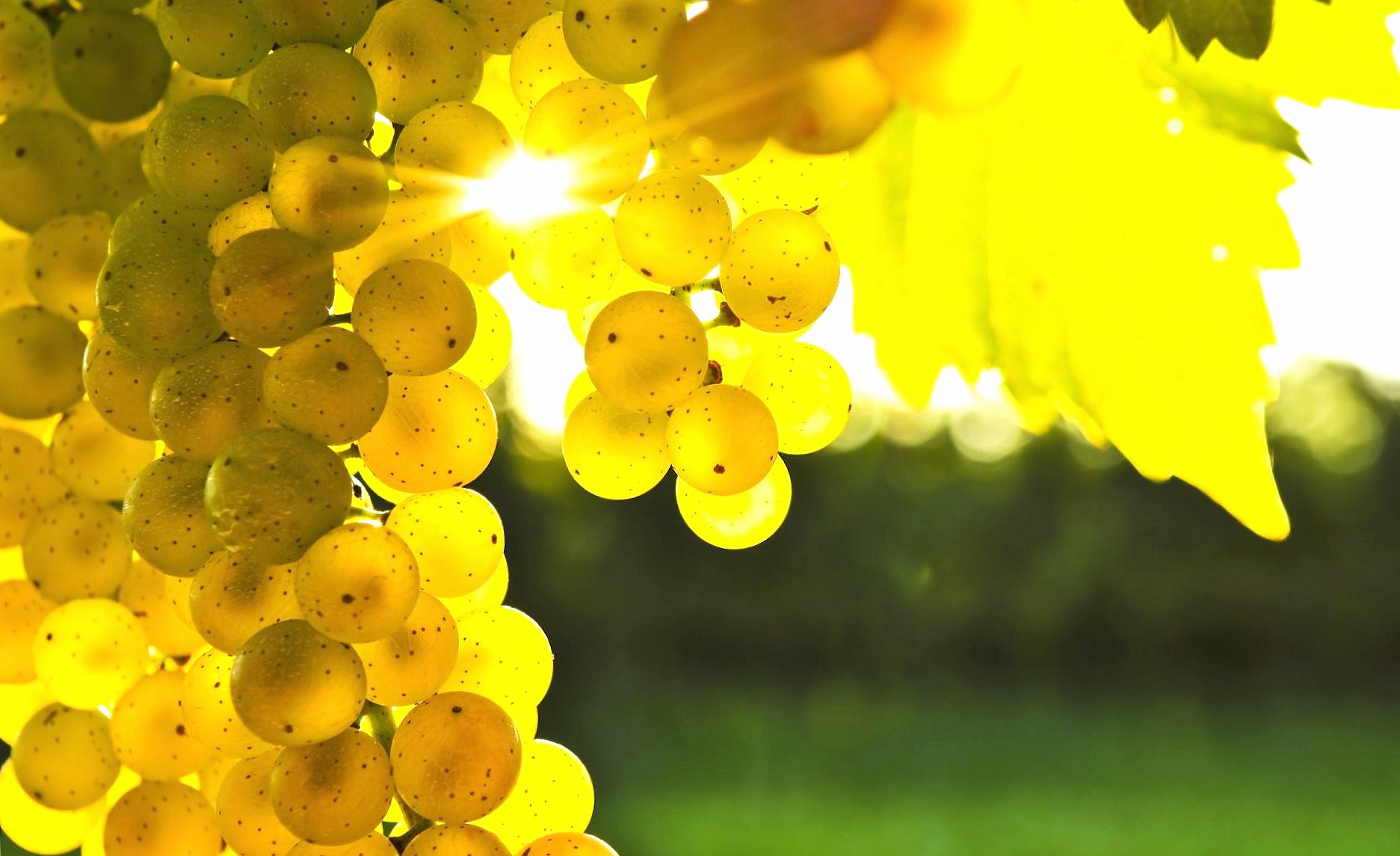 Golden grapes wallpapers HD quality