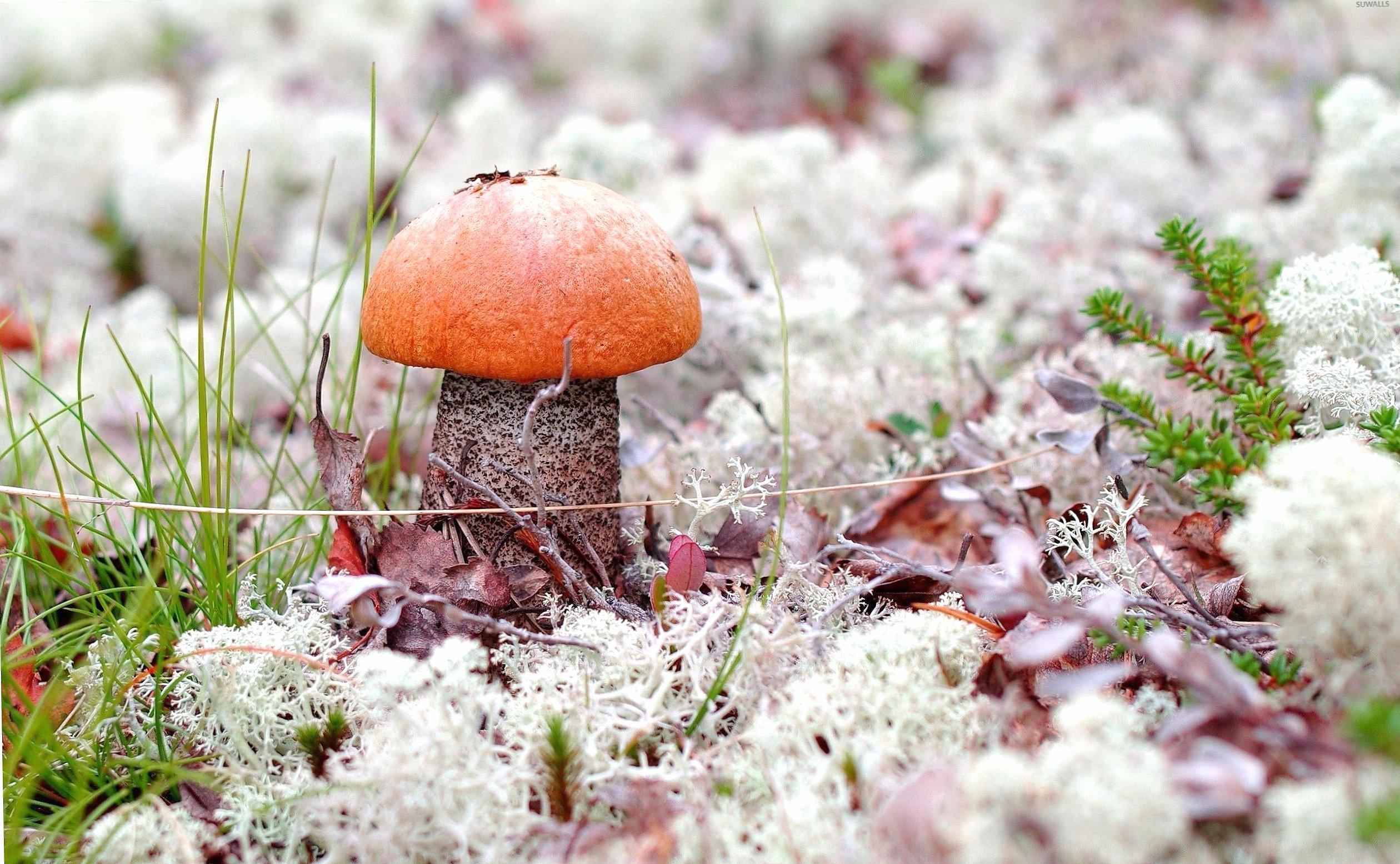 Orange mushroom rising through the autumn leaves wallpapers HD quality