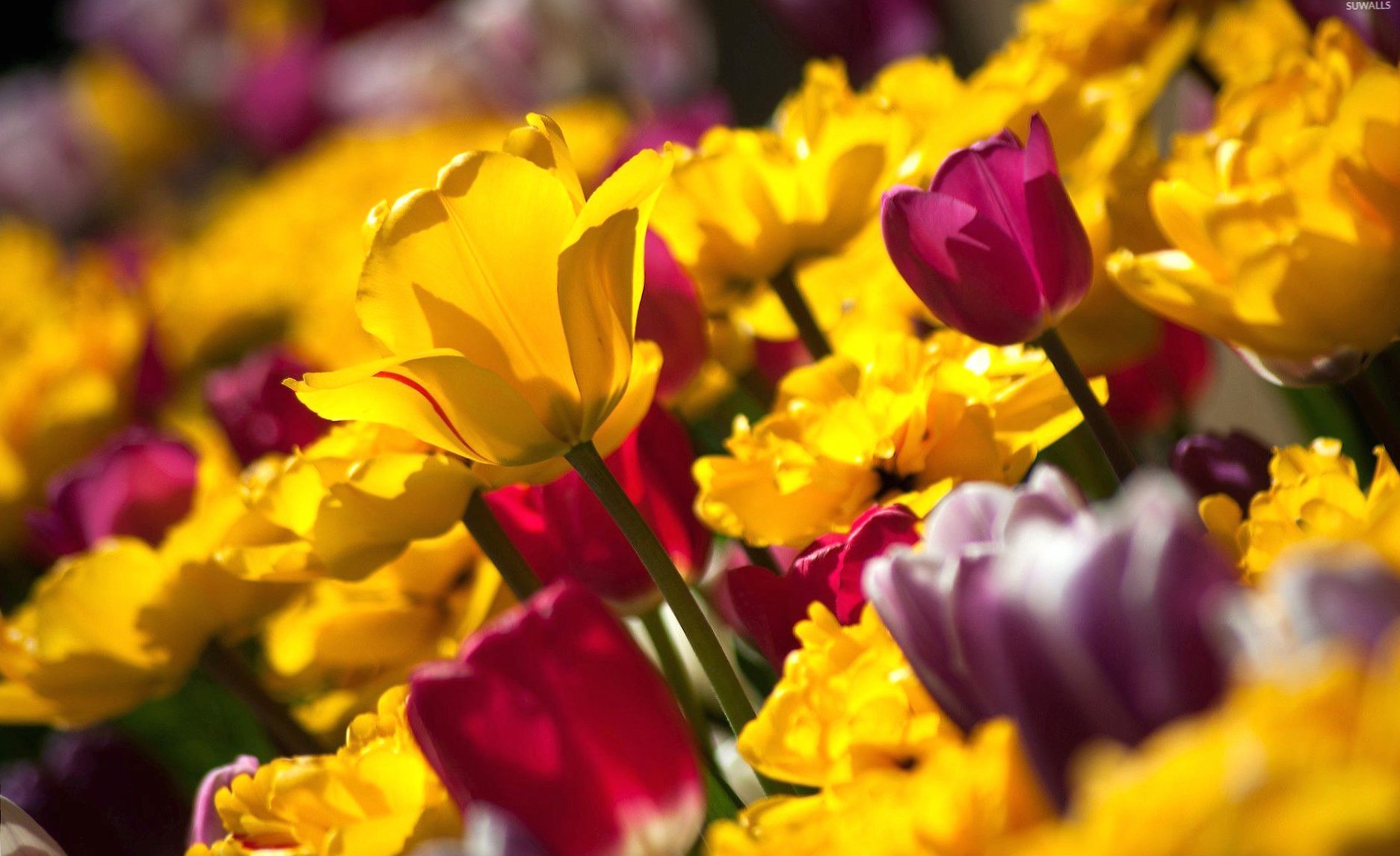 Pink and yellow tulips wallpapers HD quality