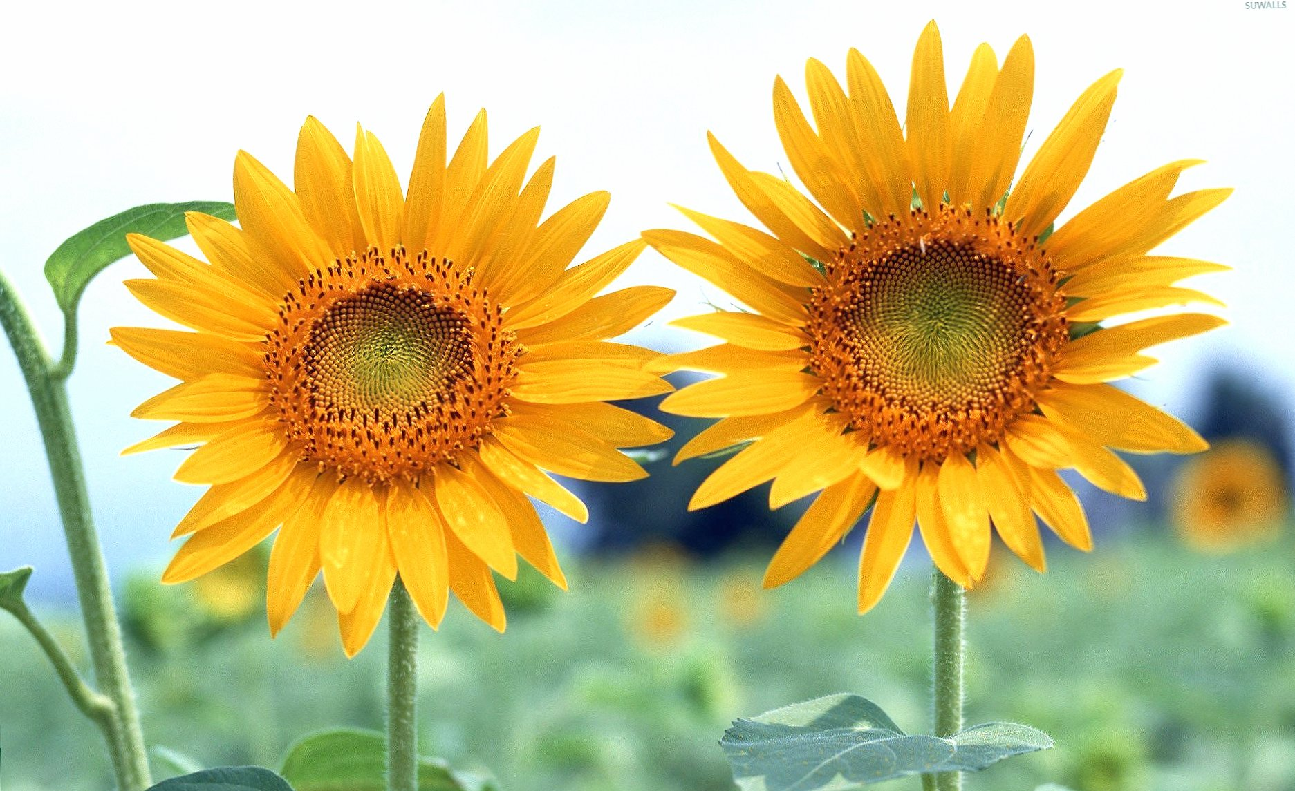 Two sunflowers wallpapers HD quality