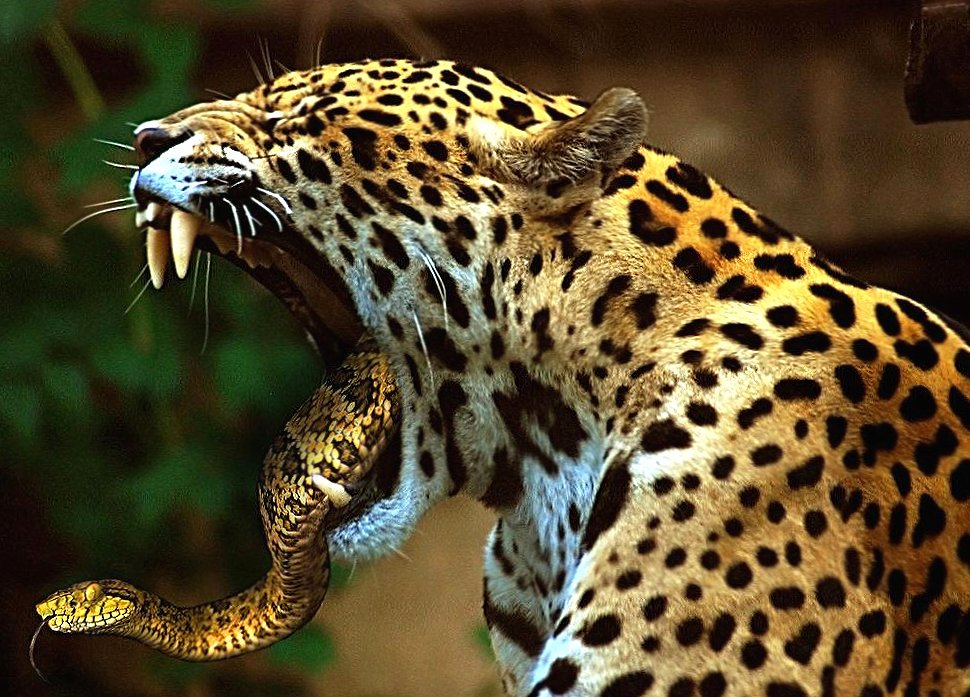 Weird jaguar and snake wallpapers HD quality