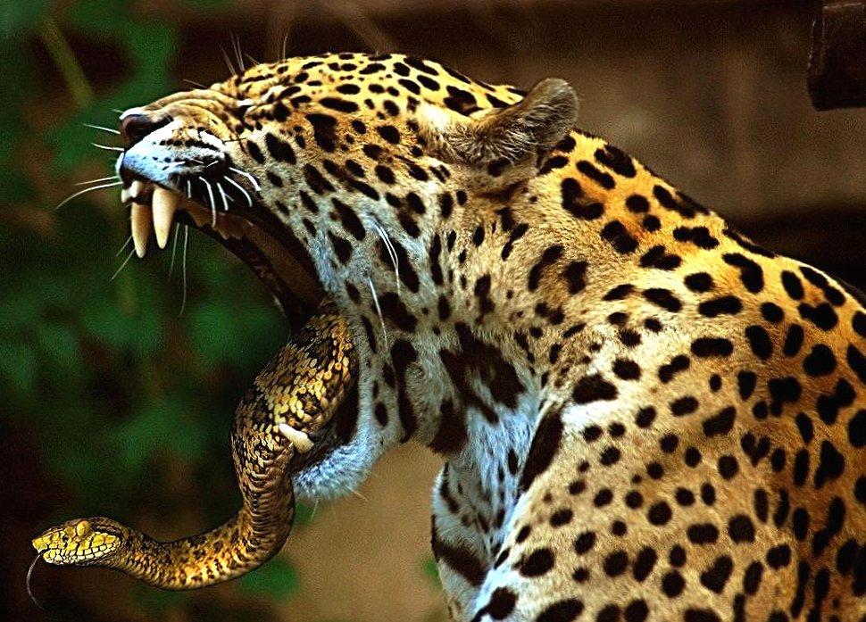 Weird jaguar and snake wallpapers HD quality