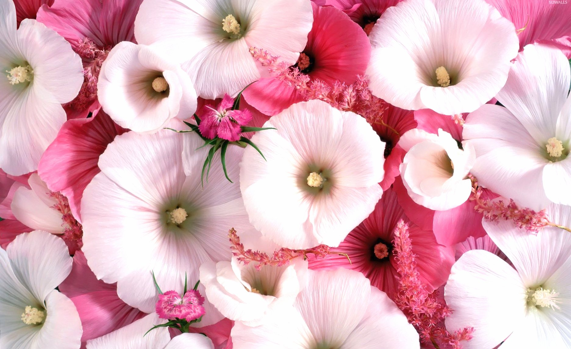 White and pink hollyhocks wallpapers HD quality