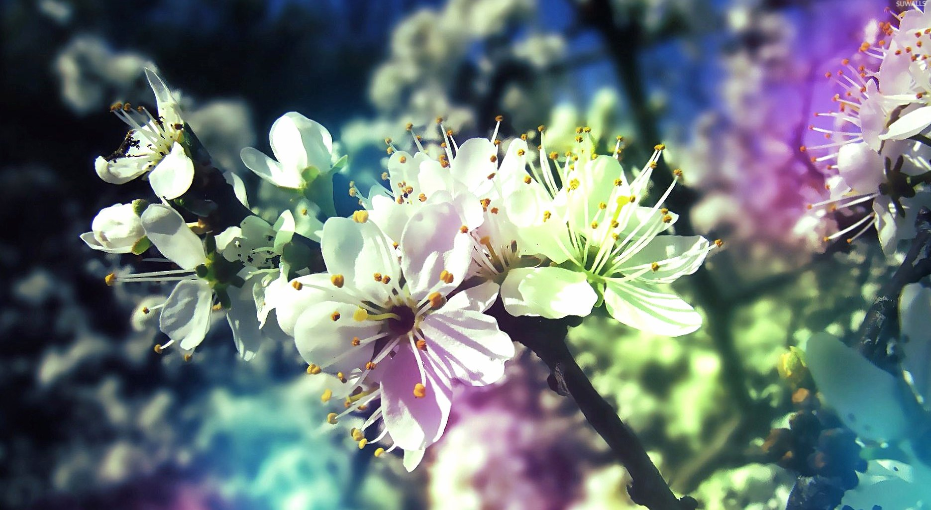 White blossoms in the spring wallpapers HD quality