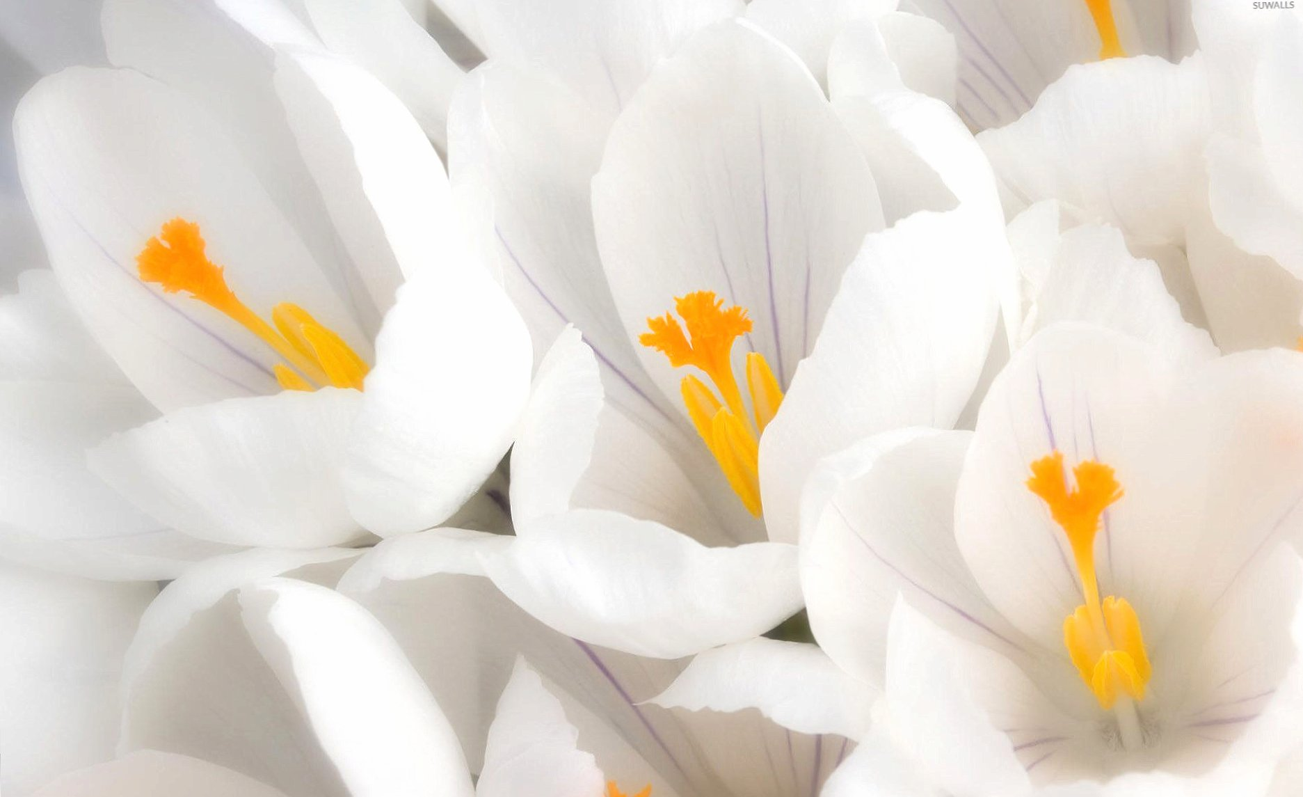White crocus wallpapers HD quality