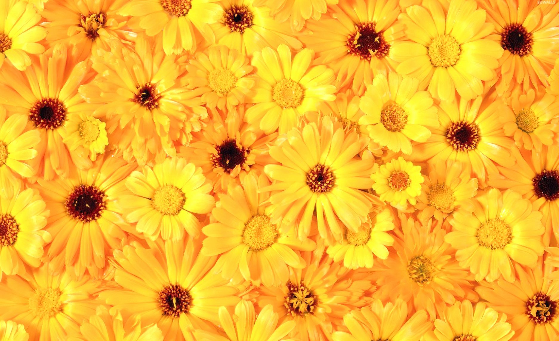 Yellow daisies wallpapers HD quality
