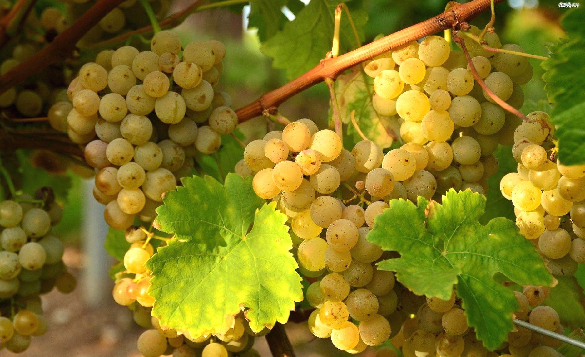 Yellow grapes wallpapers HD quality