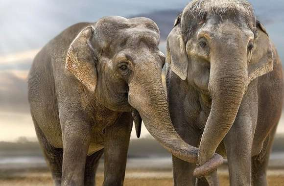 Couple elephant