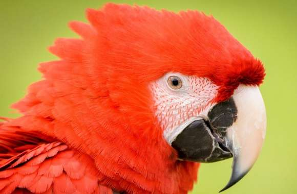 Red Parrot wallpapers hd quality