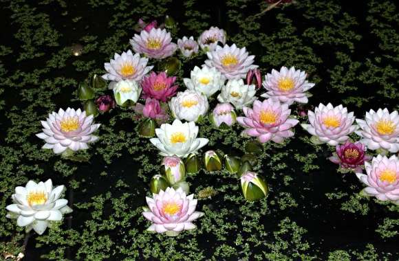 Water lilies on the lake