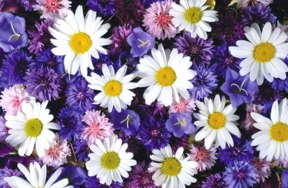 White daisies between the purple flowers wallpapers hd quality