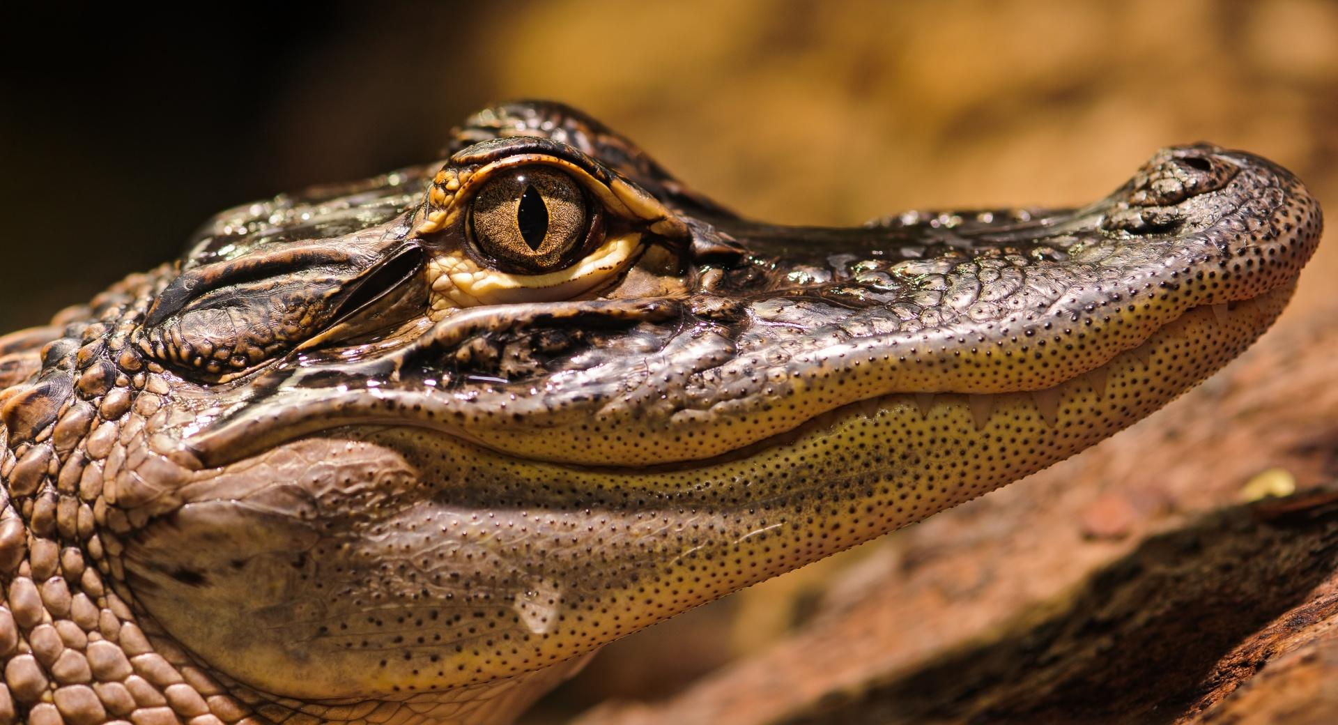 American Alligator wallpapers HD quality