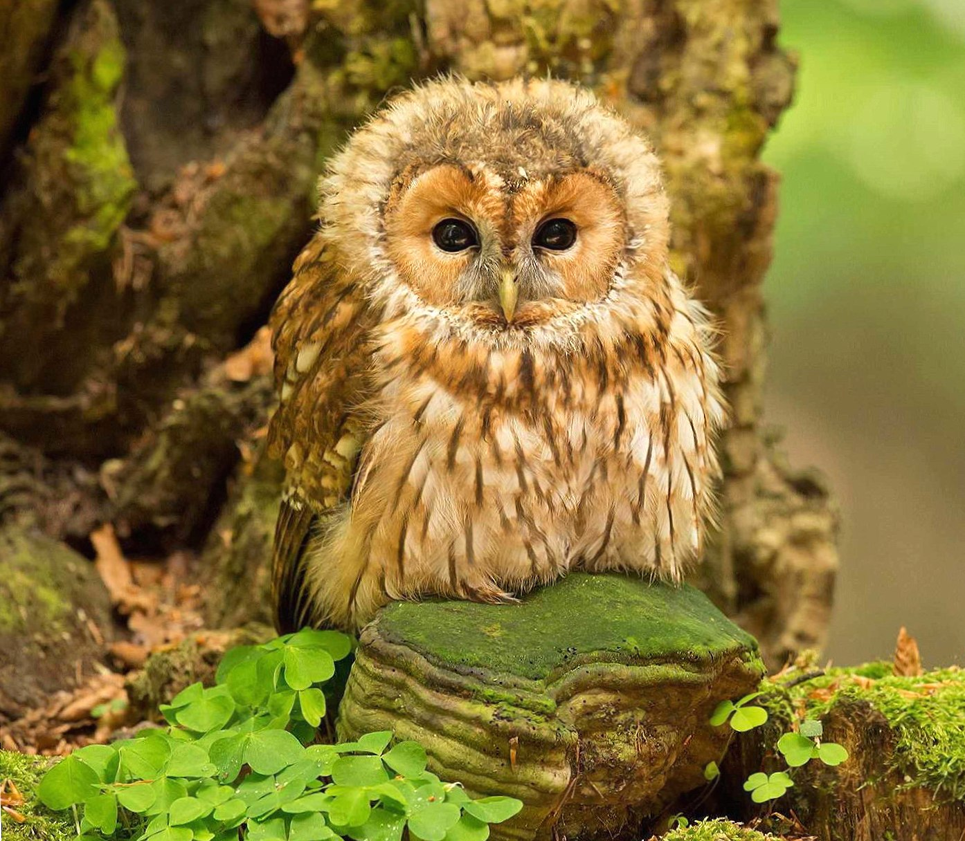baby owl wallpapers HD quality