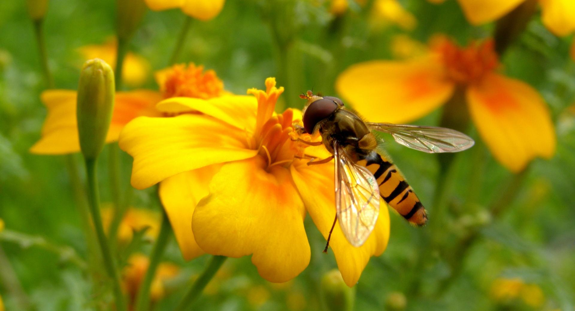Bee On A Flower wallpapers HD quality