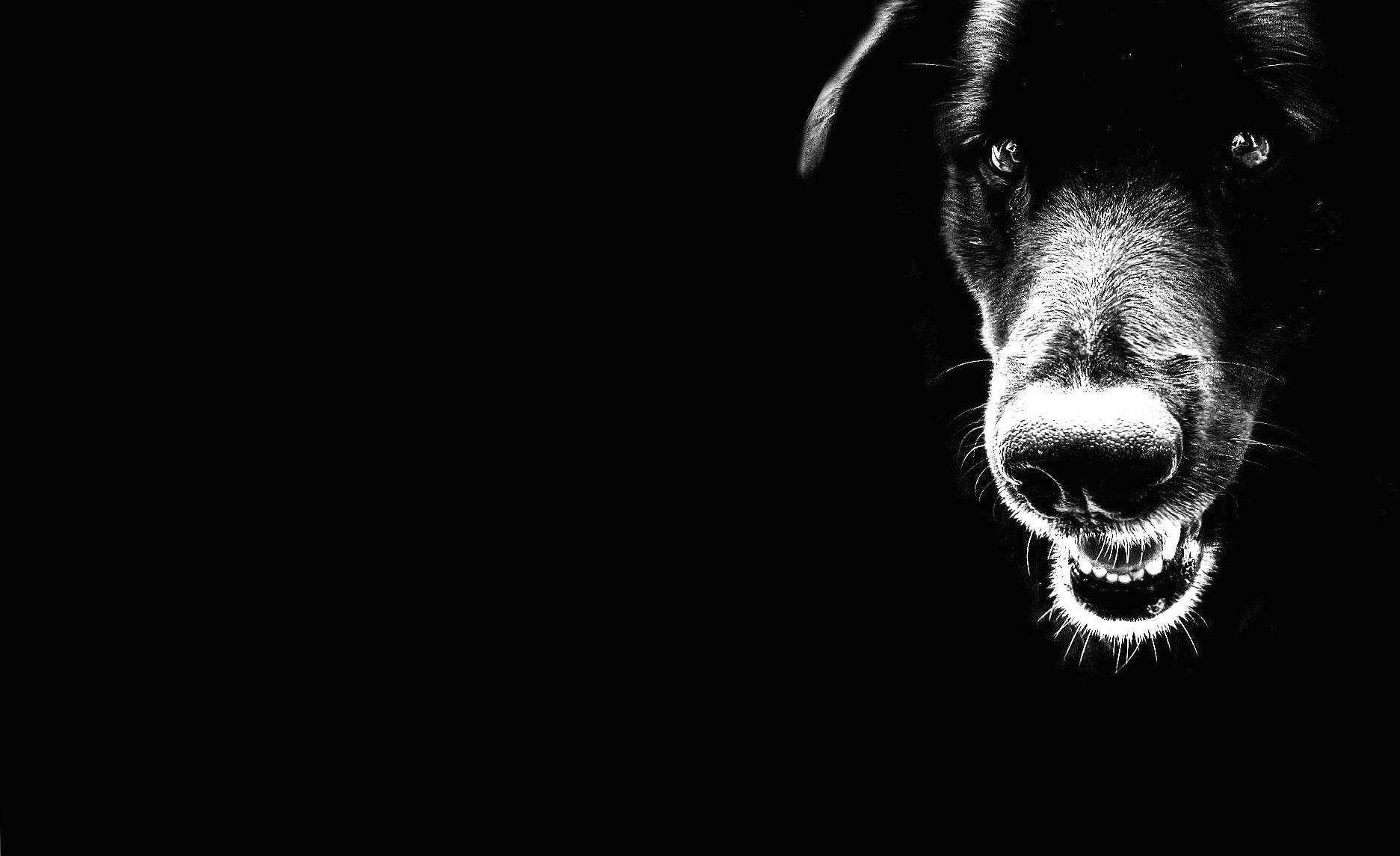 Black dog wallpapers HD quality