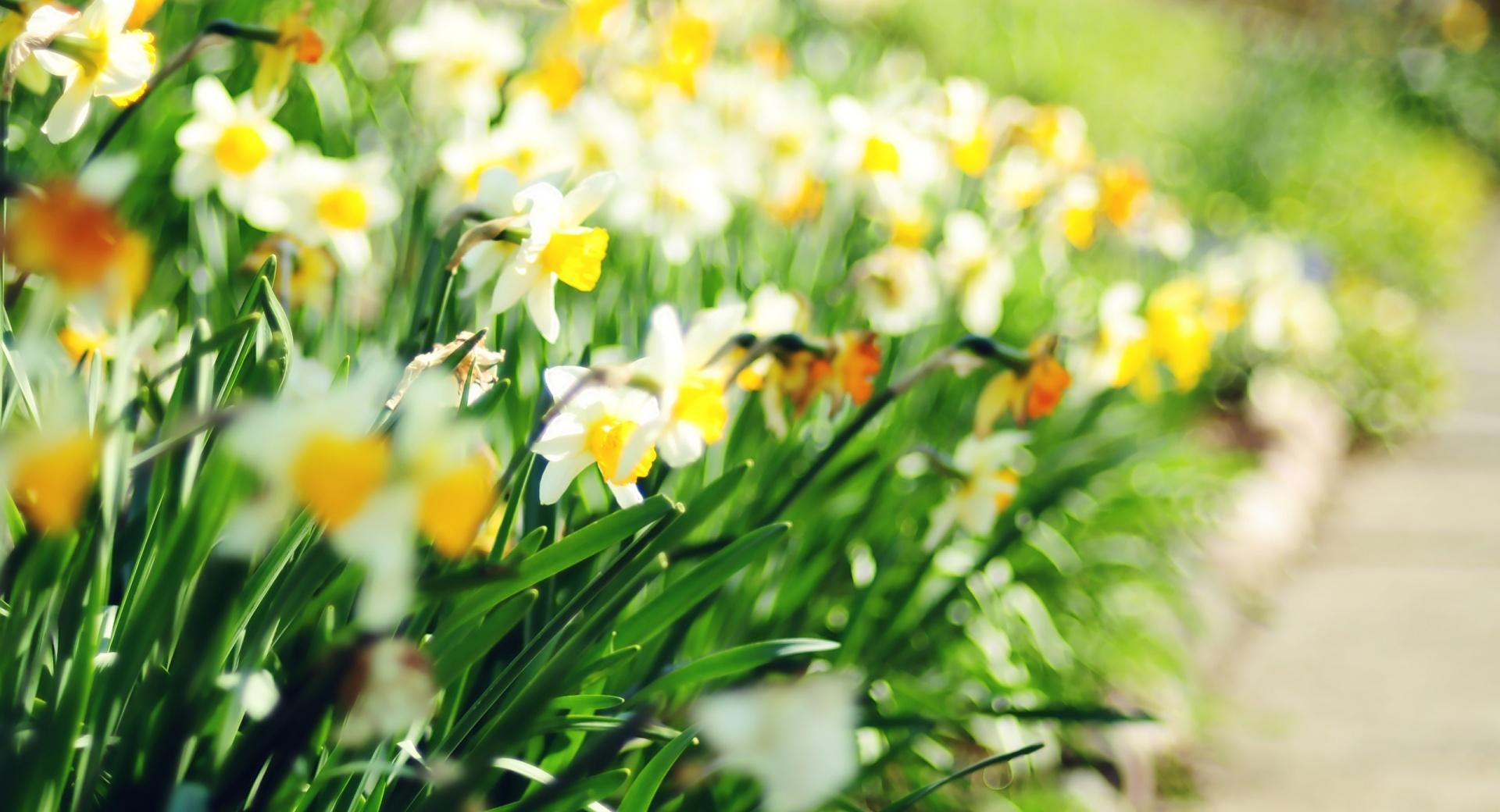 Daffodil Lane wallpapers HD quality
