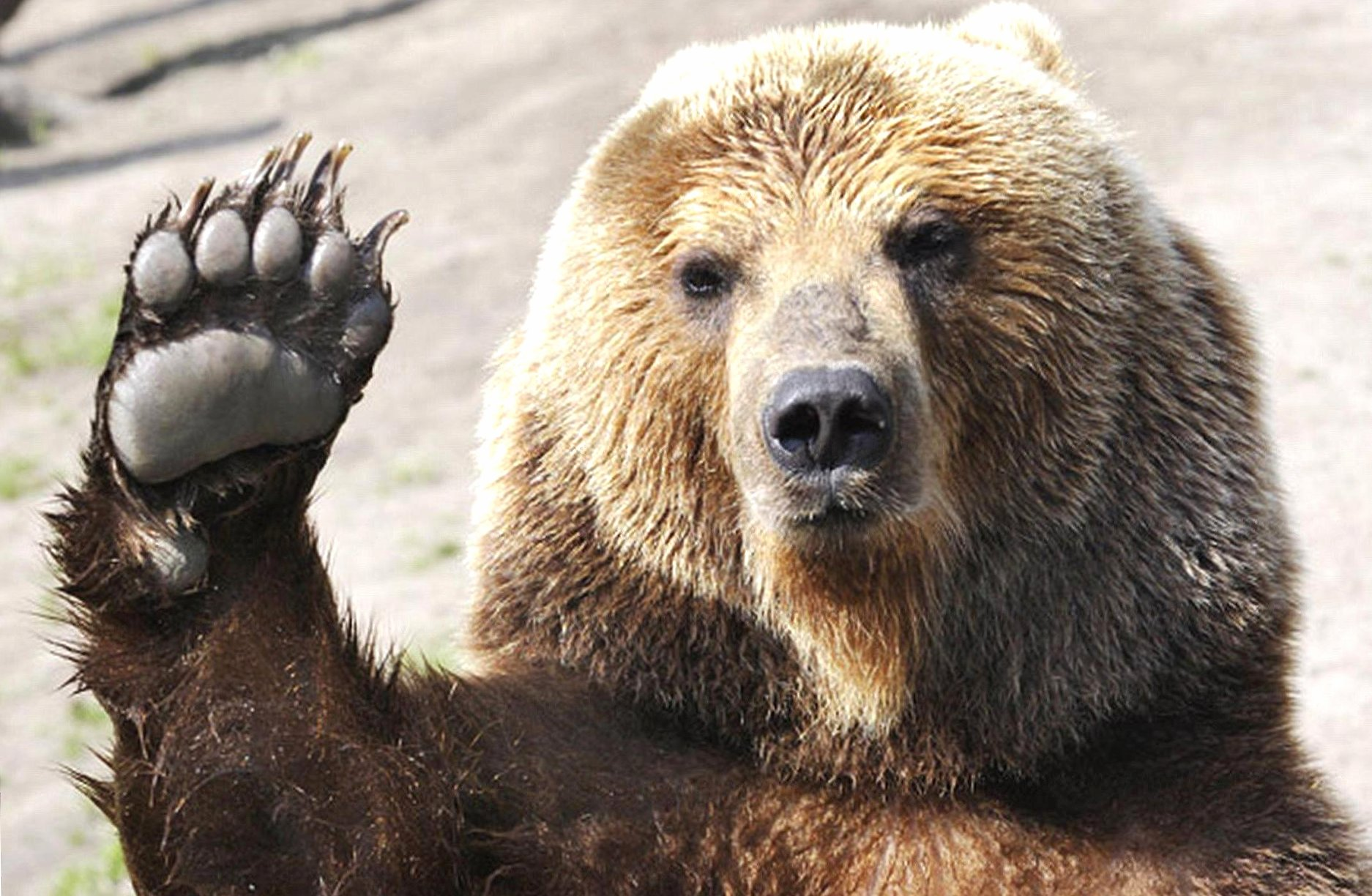 Funny hello bear wallpapers HD quality