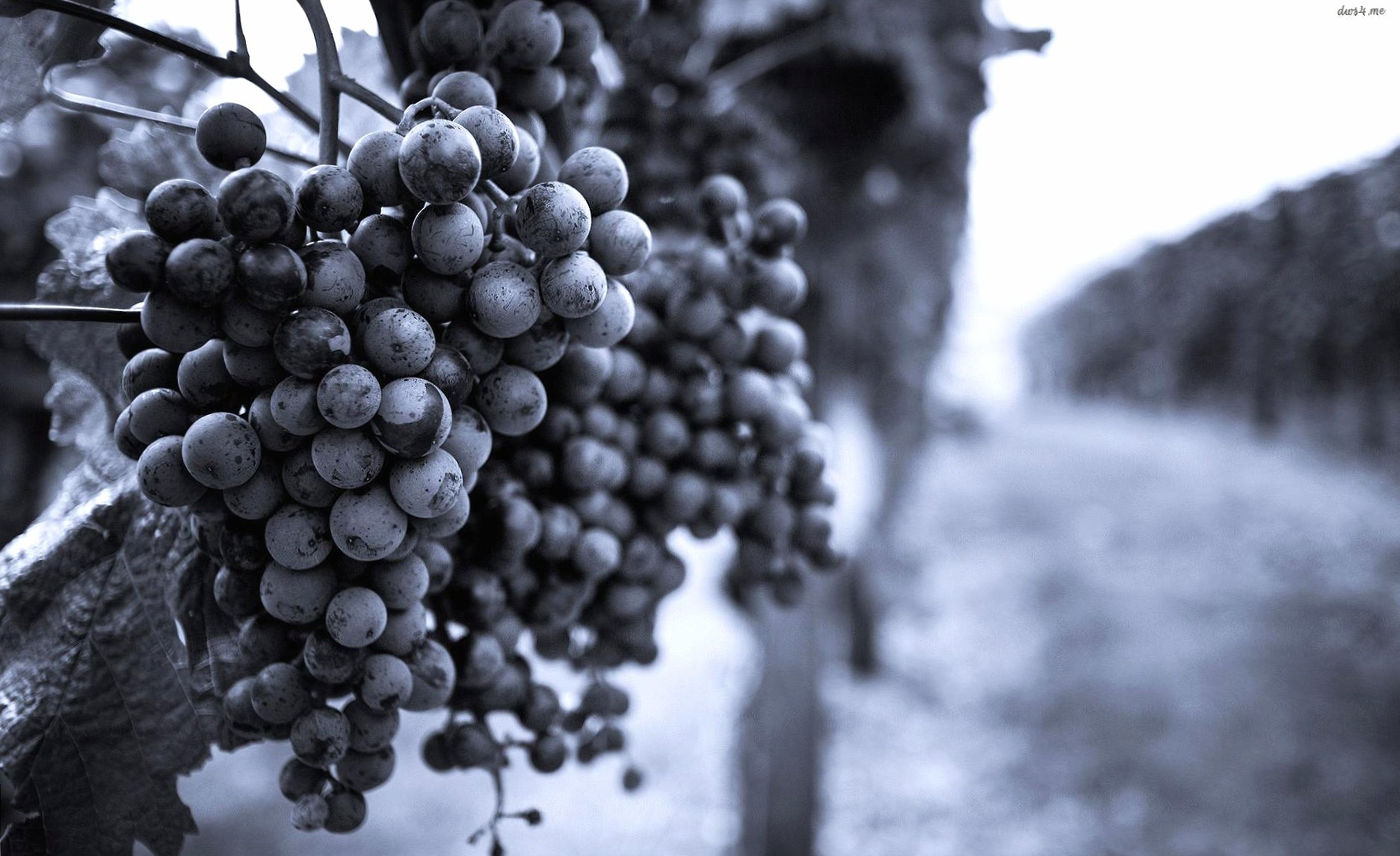 Grapes in vineyeard wallpapers HD quality