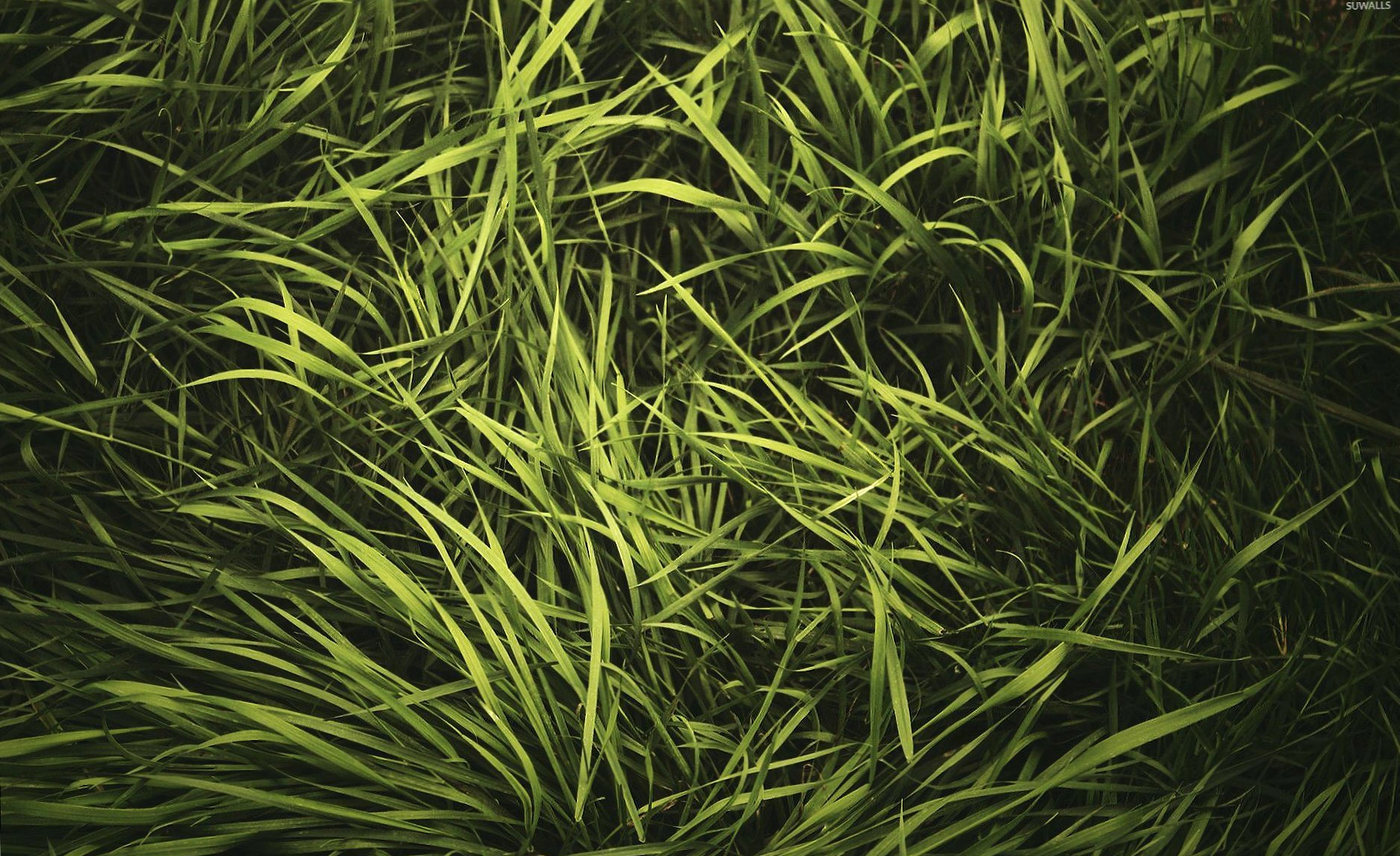 Green grass in the summer wallpapers HD quality