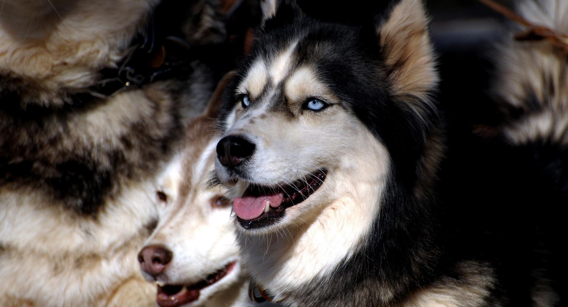Husky Dogs wallpapers HD quality