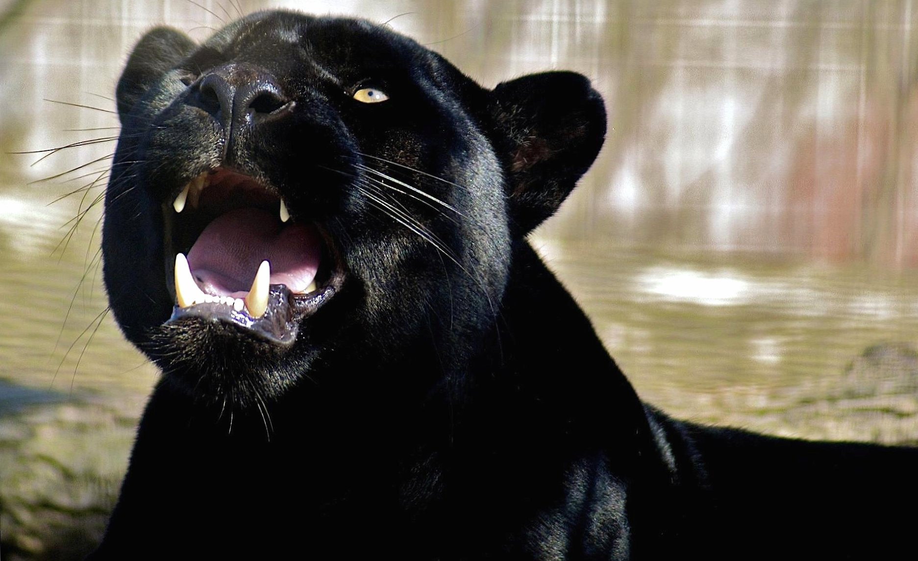 Panther wallpapers HD quality