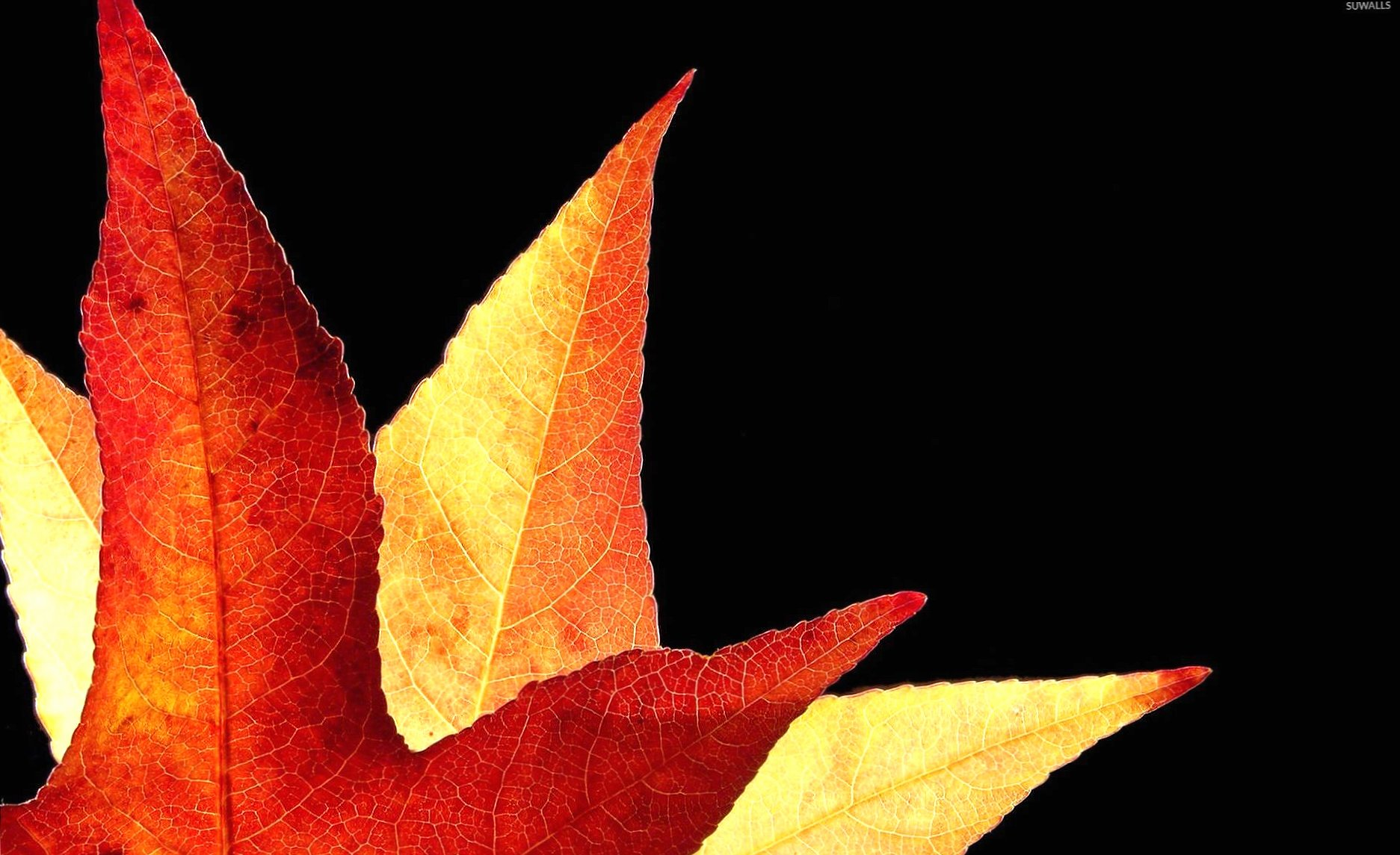 Red autumn leaves wallpapers HD quality
