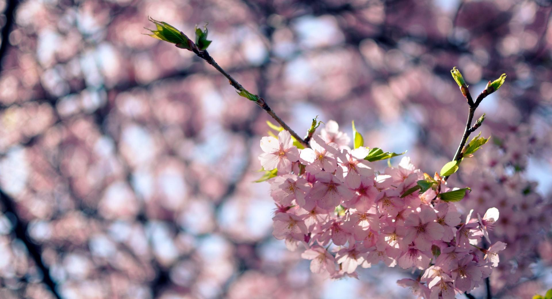 Sakura Flowers wallpapers HD quality