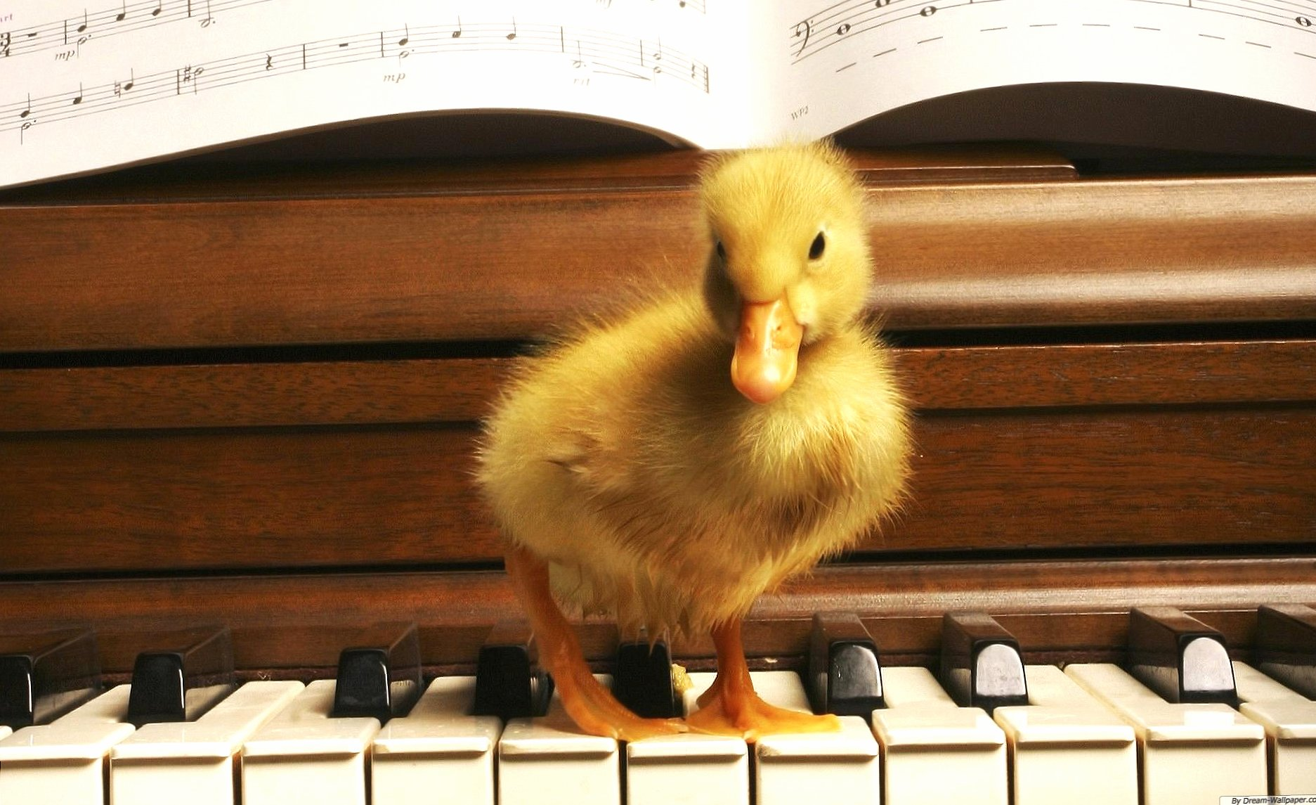 Weird duck play piano wallpapers HD quality
