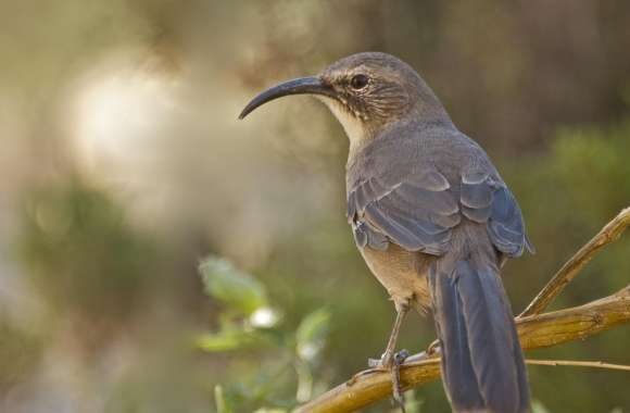 California Thrasher Bird wallpapers hd quality