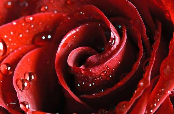 center of a red rose