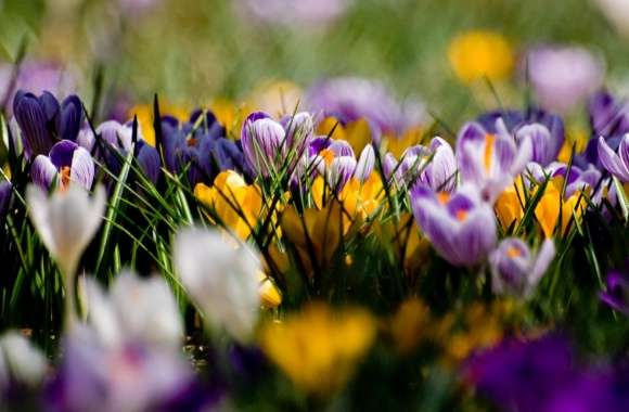 Crocus Field wallpapers hd quality