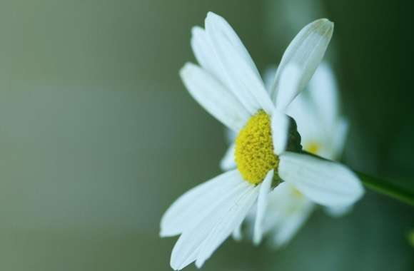 Daisy Petals wallpapers hd quality