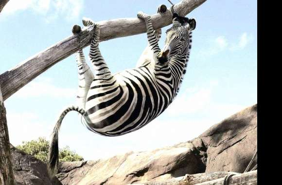 funny fearing zebra wallpapers hd quality