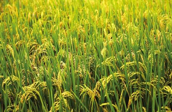 Green rice field wallpapers hd quality