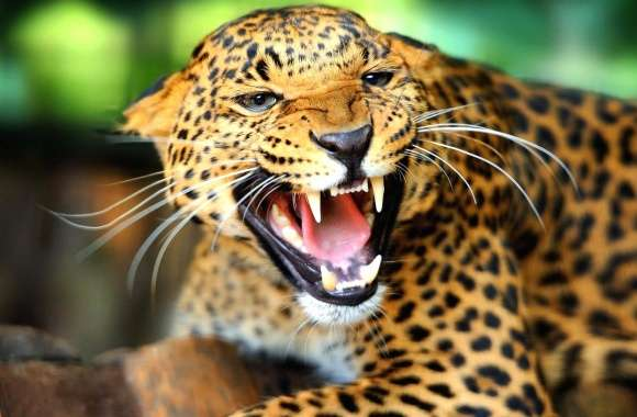Jaguar angry open mouth
