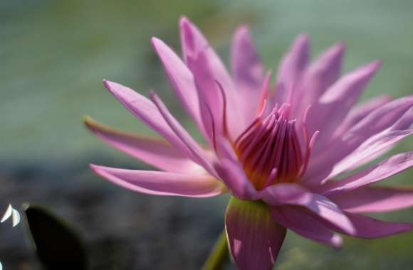 Pink Water Lily Flower wallpapers hd quality