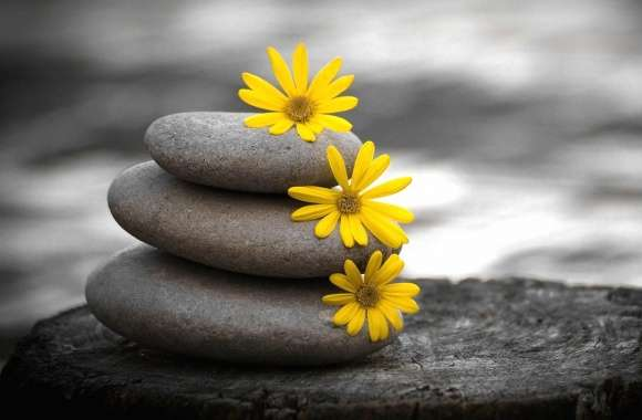 yellow daisies in a gray stones