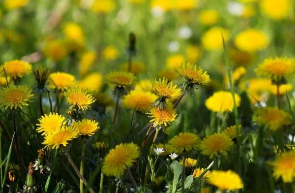 Yellow Dandelions wallpapers hd quality
