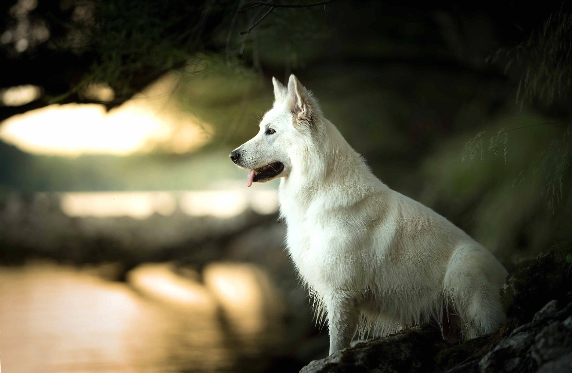 Berger Blanc Suisse wallpapers HD quality