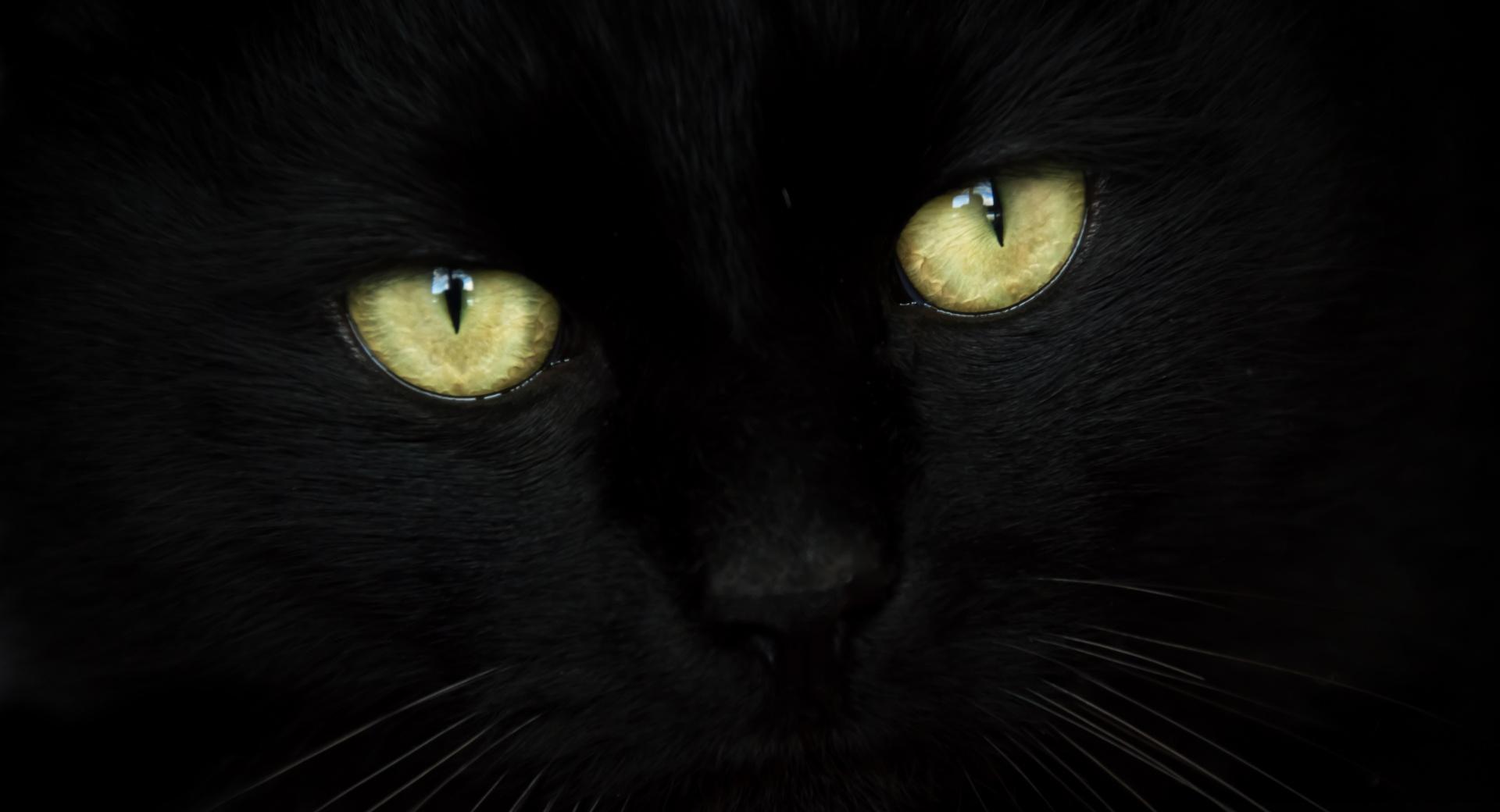 Black Cat Portrait wallpapers HD quality