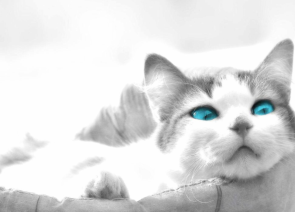 blue eyes cat sleeping wallpapers HD quality