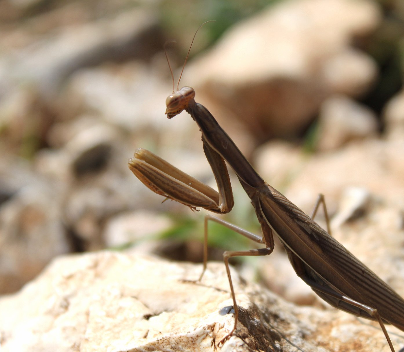 Brown Mantis wallpapers HD quality