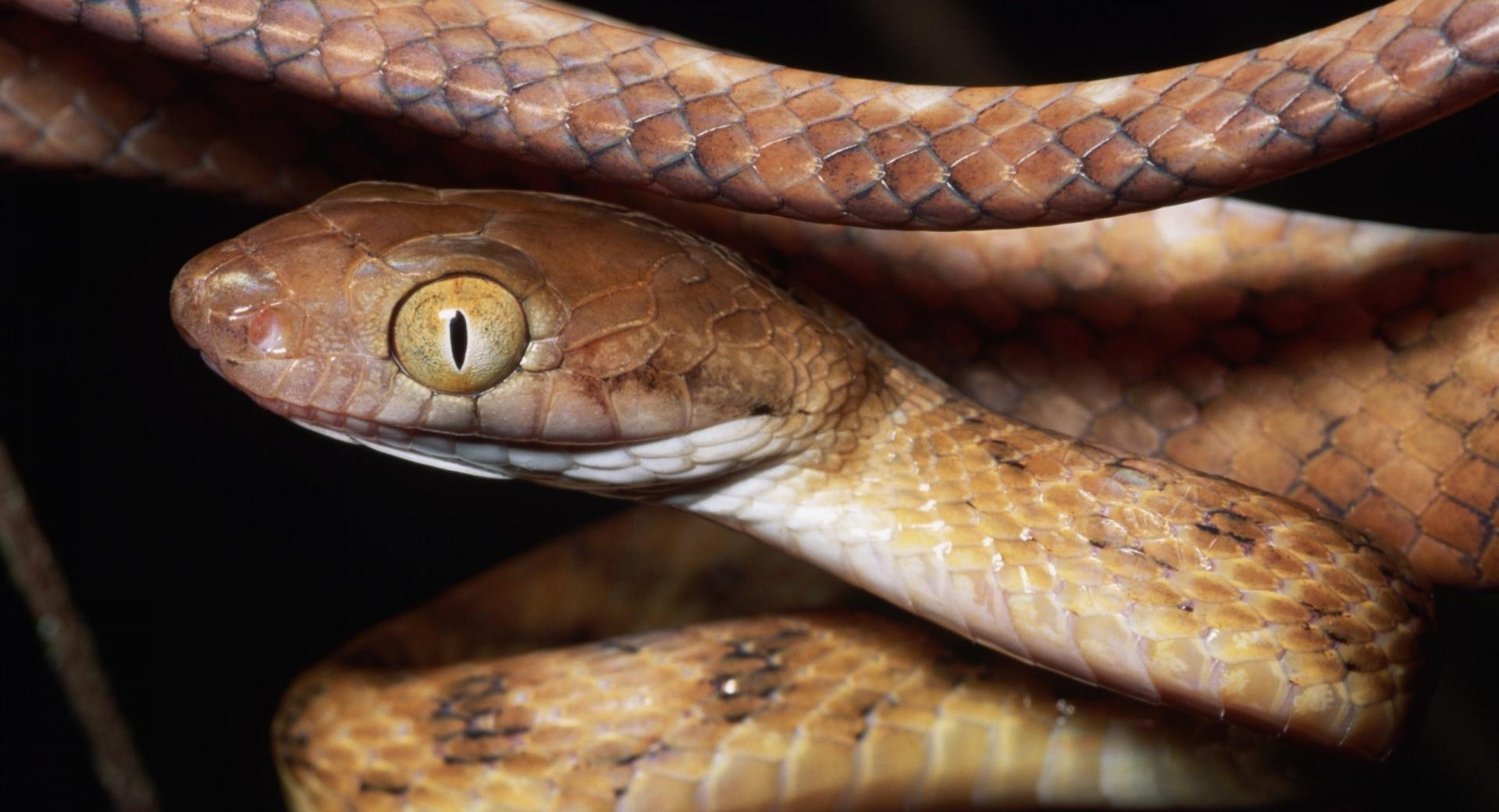 Brown Snake Close Up wallpapers HD quality