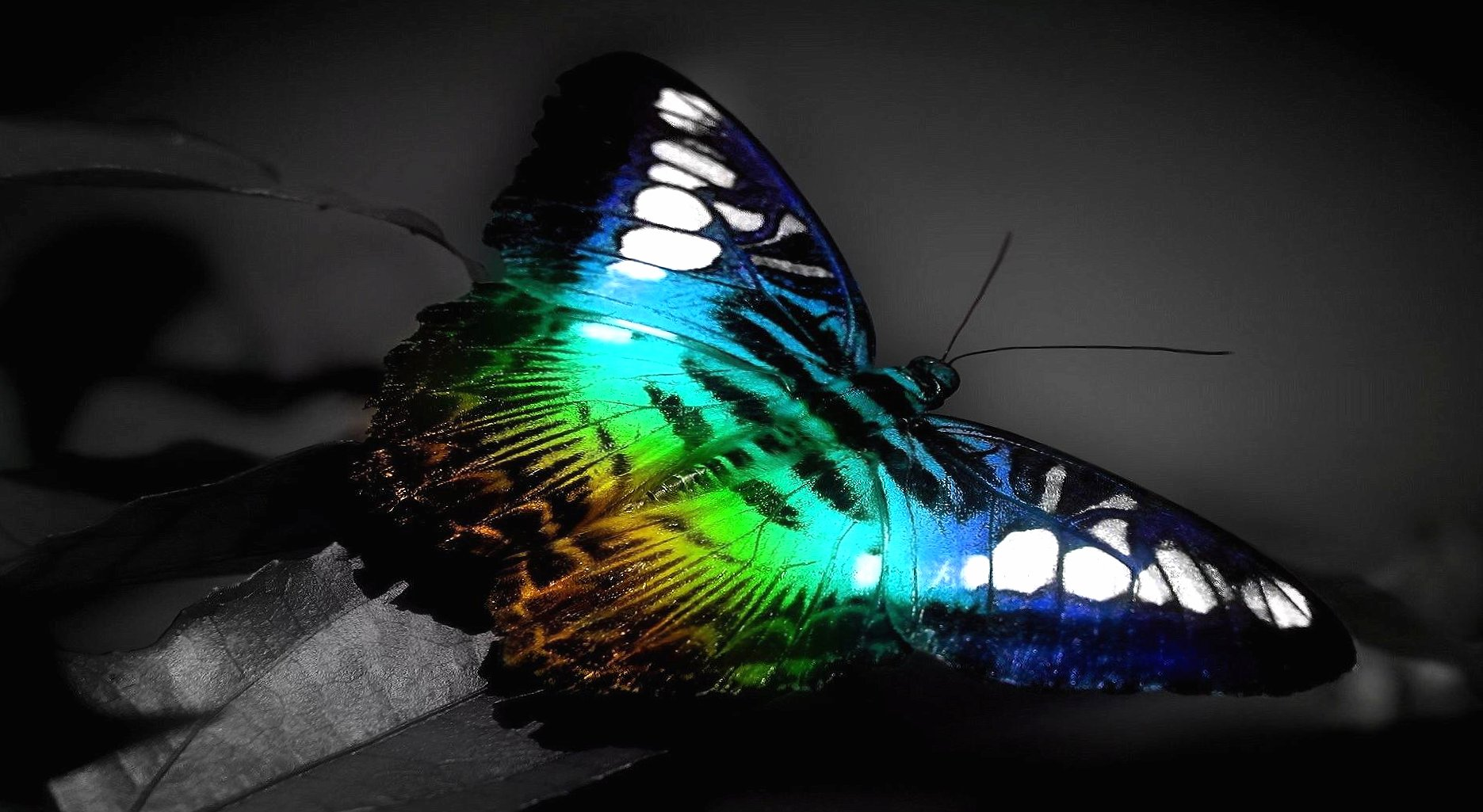 Butterfly fullcolour at 1600 x 1200 size wallpapers HD quality